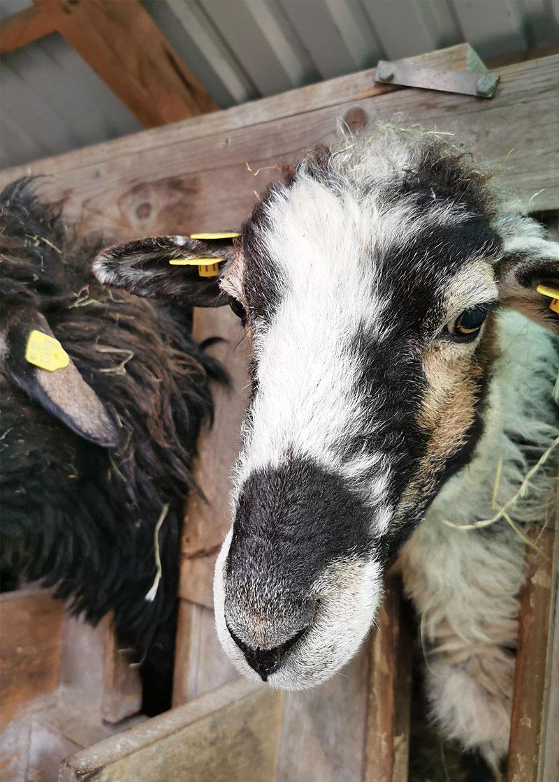 Schaf echt krass